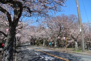-伊豆高原駅前の桜並木- (夜は提灯のライトアップも綺麗!)