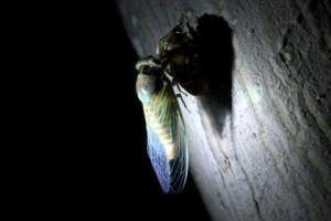 <ゆっくりと時間をかけて、  エメラルドグリーンの羽を乾かすセミ>