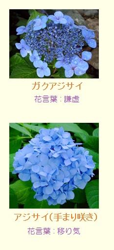 紫陽花写真