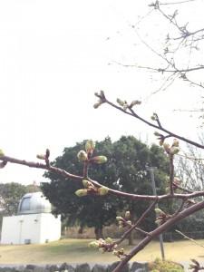 ②2020河津桜開花